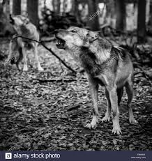 black and white wolf howling photography. Perfect Howling Two Howling Wolves In Black And White  Stock Image Intended Black And White Wolf Howling Photography O
