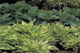 Small Picture Hosta Garden Ideas Hosta Garden Ideas HowStuffWorks