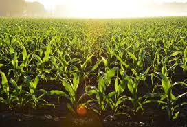 Emelkedett a búza és a kukorica ára szeptemberben