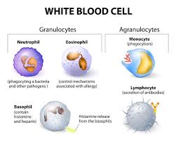 Labelled Diagram Of White Blood Cells Click For The Full