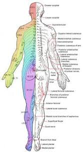 Dermatomal Pattern Beauteous Spinediscsmapofnerves Dermatome Patterns RECOVERY From
