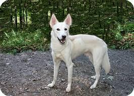 white german shepherd husky mix puppy. Exellent Husky For White German Shepherd Husky Mix Puppy