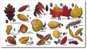 Ohio Leaf Identification Chart 45 Specific Pa Leaf Identification