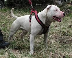 bull terrier pitbull mix. Fine Pitbull To Bull Terrier Pitbull Mix