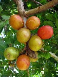 Stanley PrunePlum  Plum Trees  Stark Brou0027sPlum Tree Not Producing Fruit