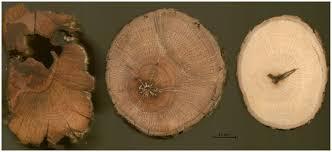 Cross-sections of Q. palmeri stems.