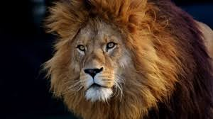 preview wallpaper lion predator muzzle