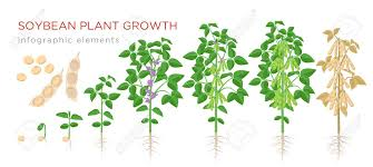 Soybean Plant Growth Stages Infographic Elements Growing Process