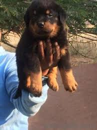 9666662939 rottweiler high quality pups for in hyderabad
