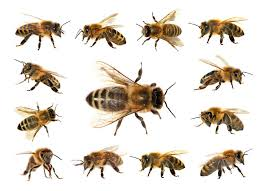 Bee And Wasp Identification Chart Uk Bee Identification Guide Top 11 Types Of Bees In The World