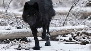 Black Wolf Wallpapers 2560x1440 88drqlf Wallpapersexpertcom