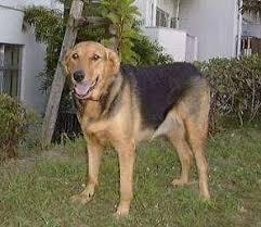 valgus dog. new zealand huntaway | puppies dogs \u0026 gumtree australia sheepdog pinterest zealand, valgus dog