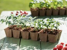 tomato seedlings starting