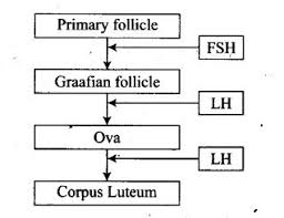 Given Below Is A Flow Chart Showing Ovarian Changes During