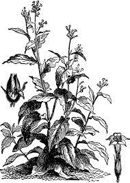 tobacco plant clipart. Delighful Tobacco Tobacco To Plant Clipart A