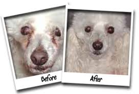 i began using angel eyes on june 1 2007 it have shown amazing results our white toy poodle had tear stains and the only way i could remove them was to