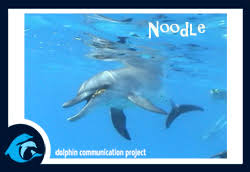 adopt a dolphin noodle