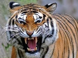Tiger Wallpapers Free Download Group (77+)