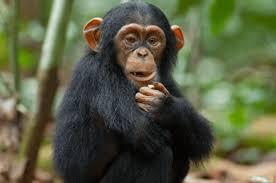 Chimpancé - Características y Hábitat | CurioSfera-Animales.com ✓