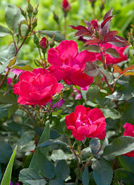 plants with red flowers foliage