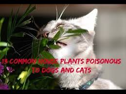 house plants poisonous to dogs and cats