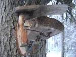 Самодельные ловушки на куницу