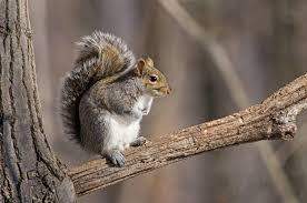 Grey Squirrel Age Chart Squirrels In B C