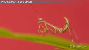 Praying Mantis Facts Life Cycle