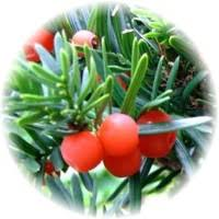Image result for japanese yew berries poisonous
