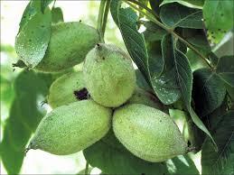ISU Forestry Extension  Tree Identification Butternut Juglans Green Fruit Tree Identification