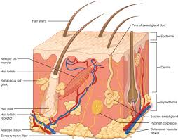 layers of the skin anatomy and physiology this illustration shows a cross section of skin tissue the outermost layer is called the