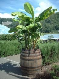 oak barrel armchair oak barrel used as planter in the eden project