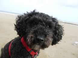 why are poodles e to eye conditions