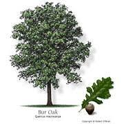 Types Of Acorns Chart Texas Tree Selector