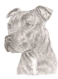 Staffordshire Bull Terrier Print Of Original Pencil Art For Sale