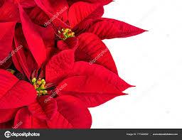 Roten Weihnachtsstern Blume Nahaufnahme Auf Weiß Stockfoto
