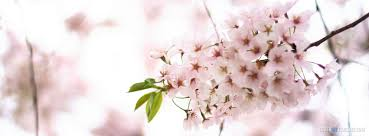 spring spring cherry blossom