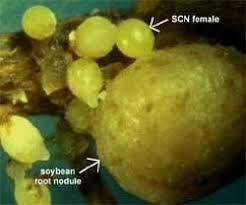 Soybean Cyst Nematode Heterodera Glycines Nervous Systems