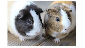 guinea pigs bedding faqs necessary