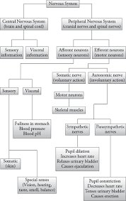 Flow Chart Of Nervous System In Human Beings Nervous System Organization