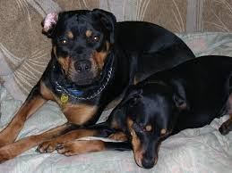 rottweiler dog mean. dogs name: gunner n roskoowners eileenthese are our babies (rottie) rottweiler dog mean