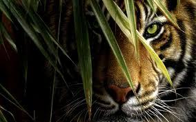 tiger wallpaper desktop. Modren Desktop 1080p HD Wallpapers Throughout Tiger Wallpaper Desktop