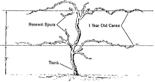 Pruning Grapevines Horticulture And Home Pest News