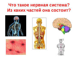 Методическая разработка урока биологии на тему Центральная  Что такое нервная система Из каких частей она состоит