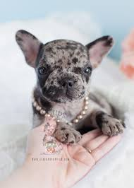 miniature blue french bulldog puppies for sale. Contemporary Blue Blue Merle Frenchie For Sale French Bulldog Puppy  To Miniature Puppies Sale S
