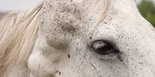 Canine Melanoma Vaccine Testing In Horses Underway The Horse