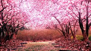 Cherry Blossom Tree For Your Garden In 2019 Cherry Blossom