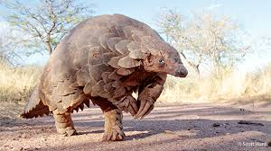 pangolins are prized for their meat and scales just one small can cost thousands