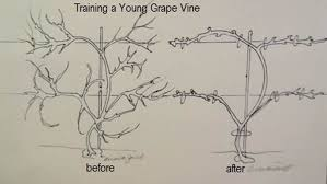 Pruning Grapes In Winter The Garden Website Com