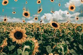 Aesthetic Sunflower Wallpapers Computer ...